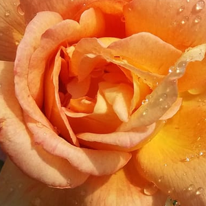 Rose Shopping Online - hybrid Tea - yellow - pink - Tapestry - moderately intensive fragrance - Gladys (Mrs. Gordon) Fisher -  Bushy, spicy fragrance rose.