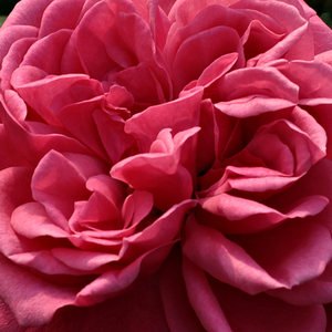 Rose Sales Online - Titian - pink - climber rose - moderately intensive fragrance - Francis Lewis Riethmuller - Beautiful, old-fashioned flowers are blooming from the beginig of June till autumn.