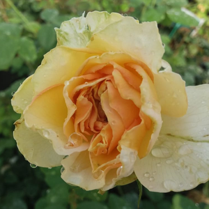 Yellow and pink - hybrid Tea