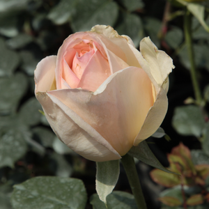 Topaze Orientale - yellow - hybrid Tea