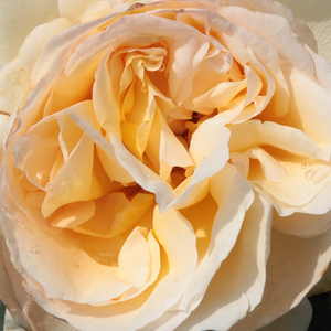 Roses Online Delivery - Yellow - hybrid Tea - moderately intensive fragrance -  Topaze Orientale - Georges Delbard - It has a relatively large shrub so it can offer an attractive background for an exquisite autumn bloom in an open border bed.
