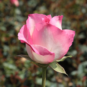 The pink petals provide an elegant look to the white, square, rosette-shaped flowers.