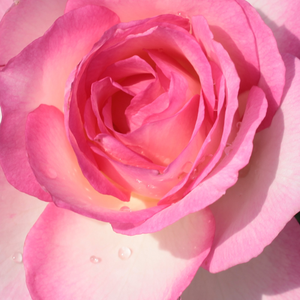 Order Roses Online - Tourmaline - hybrid Tea - white - pink - moderately intensive fragrance - Georges Delbard - The pink petals provide an elegant look to the white, square, rosette-shaped flowers.
