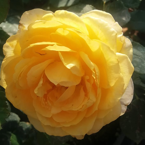 Yellow - hybrid Tea