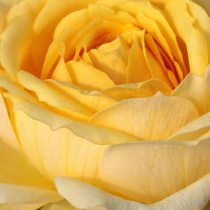 Roses Online Delivery - Yellow - hybrid Tea - discrete fragrance -  Venusic - Georges Delbard, Andre Chabert - It is a cut flower with discreet scent.