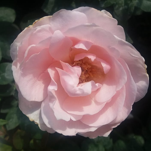 Light pink - hybrid Tea