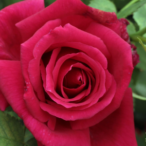 Cherry-red - hybrid Tea