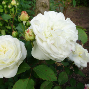 Weisse Gruss an Aachen - white - bed and borders rose - floribunda