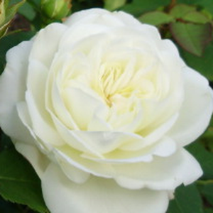 Buy Roses Online - White - bed and borders rose - floribunda - discrete fragrance - Weisse Gruss an Aachen - Max Vogel - Full- doubled, large-flowered, elegant florist rose. Its discrete shades of flowers are continually blooms in groups.
