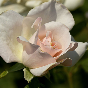 White Queen Elizabeth - white - bed and borders rose - grandiflora - floribunda