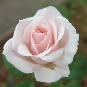 White or white blend - bed and borders rose - grandiflora - floribunda
