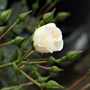 Schneekönigin® - white - ground cover rose