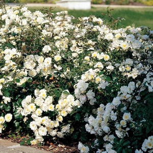 Yellow - ground cover rose
