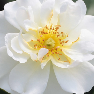 Buy Roses Online - White - ground cover rose - moderately intensive fragrance -  Schneekönigin® - Hans Jürgen Evers - It has lemon yellow, full-doubled flowers what can be bloom in groups.