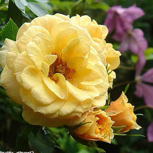 Zorba™ - yellow - climber rose