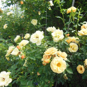 Yellow mixture - climber rose