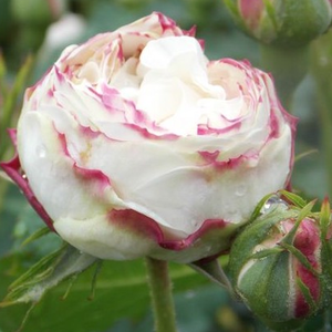 Boule de Neige - bianco - Rose Noisette