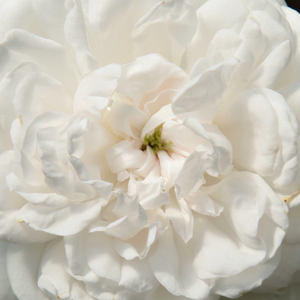 Buy Roses Online - White - noisette rose - intensive fragrance -  Boule de Neige - François Lacharme - One of the popular roses. If you walk out to a rose garden to gather a beautiful bouquet you wont stand against this rose. This rose will make you feel happy by using its sumptuous blooms.