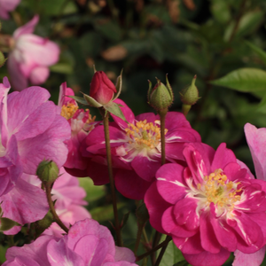 Csinszka - pink - bed and borders rose - polyantha