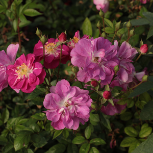 Light or dark pink white central - bed and borders rose - polyantha