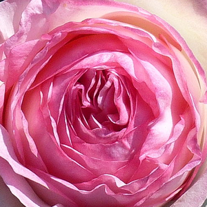 Rose Shop Online - climber rose - pink - Meiviolin - moderately intensive fragrance - Jacques Mouchotte - The World Association of the Roses voted in 2006 as the favorite rose of the world.