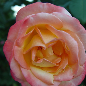 Yellow, carmine - pink shedows - hybrid Tea