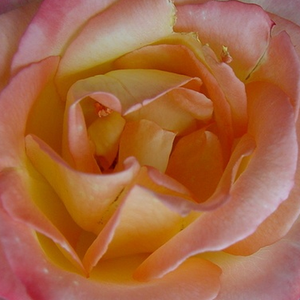 Rose Shopping Online - hybrid Tea - yellow - pink - Emeraude d'Or - moderately intensive fragrance - Georges Delbard - More robust, lightly fragrant roses.