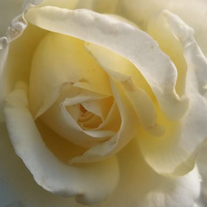 Rose Shopping Online - White - hybrid Tea - discrete fragrance - Erény - Márk Gergely - Its flowers are large and they are white whith pale lemon shades. The beginning of flowering is mid-May and almost blooming till frost.