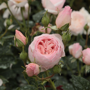 Ausblush - pink - english rose