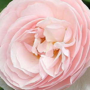 Rose Shopping Online - english rose - pink - Ausblush - intensive fragrance - David Austin - If we want to get the best effect we should make this beautiful rose to climb on to a perennial or a bush.