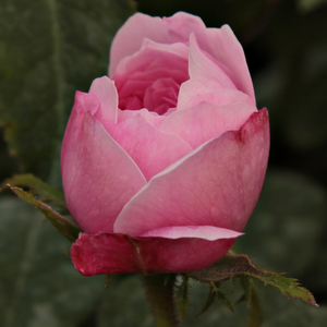 Jacques Cartier - pink - hybrid perpetual