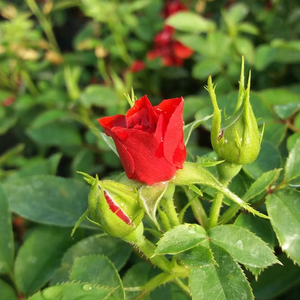 Libán - red - miniature rose