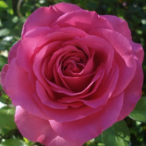 Buy Roses Online - Pink - hybrid Tea - moderately intensive fragrance - Lucia Nistler® - Hans Jürgen Evers - Its strong color can be emphasized by the combination of pale pink, white and blue flowers and silver foliage.
