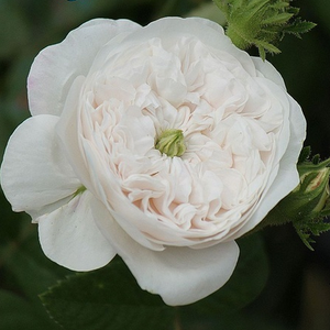 Rosa Madame Hardy - blanche - rosiers centifolia (Provence)