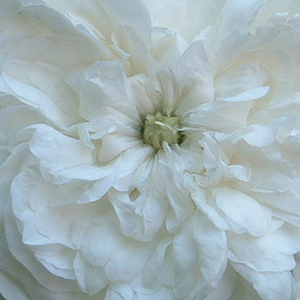 Height: 3,9-6,6 ft - Number of petals: 17-25
