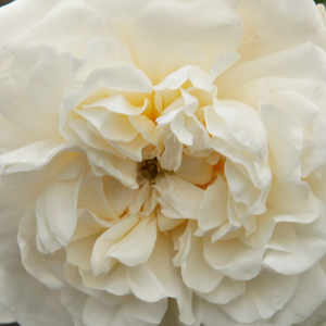 Rose Shopping Online - alba rose - white - Madame Plantier - intensive fragrance - Plantier - It has almost thornless and arching shoots with small, light green foliage.