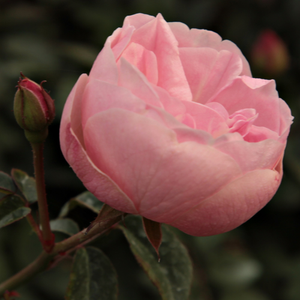 Mevrouw Nathalie Nypels - pink - bed and borders rose - floribunda