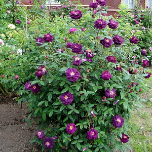 Dark pourple with yellow center - moss rose
