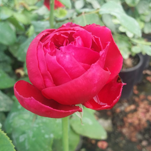 Pannonhalma - red - hybrid Tea