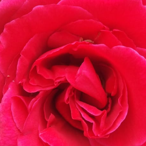 Buy Roses Online - Red - hybrid Tea - moderately intensive fragrance - Pannonhalma - Márk Gergely - Packed flowers, 3'-5' diameter. Strong scented. Blooms from june to autumn. Not susceptible against diseases.