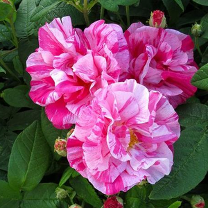 Pink mixture - gallica rose
