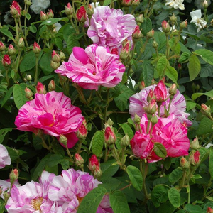 On of the best-known and the oldest stripy rose. It resists weak penumbra and nutrient deficiencies soil.