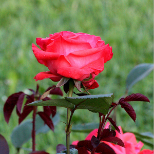 Rosalynn Carter - red - bed and borders rose - grandiflora - floribunda