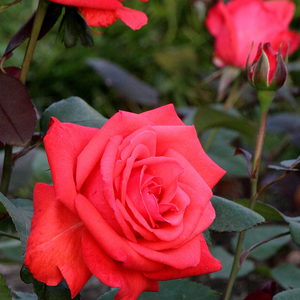 Coral-red with orange shadow - bed and borders rose - grandiflora - floribunda