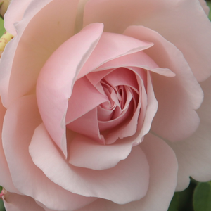 Rose Shopping Online - english rose - pink - Auswith - moderately intensive fragrance - David Austin - The flowers are full, interior petals are wavy, exterior edge of the flower is whitish.It has noble fragrance. Blooms all summer.