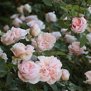 Whitish, pink, dark petals - bourbon rose