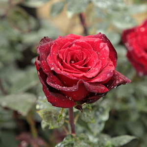 Barkarole® - red - hybrid Tea