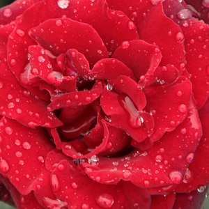 Buy Roses Online - Red - hybrid Tea - discrete fragrance -  Barkarole® - Hans Jürgen Evers, Mathias Tantau, Jr. - Resists rain. Large, dark green foliage which is resistant to fungal infections.