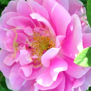 Rose Shopping Online - Pink - park rose - moderately intensive fragrance - Thérèse Bugnet - Georges Bugnet - Its interestig flowers are pink and doubled.