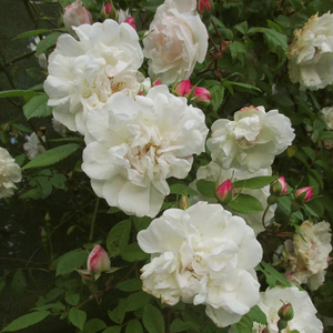 Blanche à touche rose - rosiers lianes